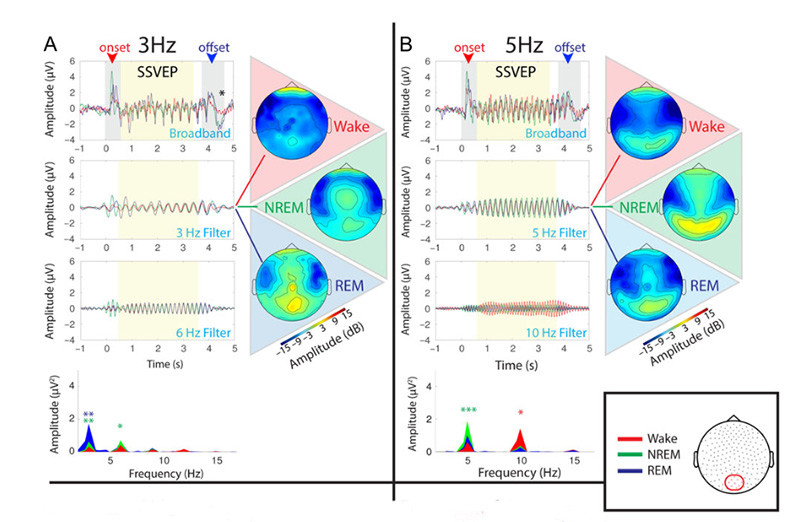 Attenuated Fast Steady-State Visual Evoked Potentials During Human Sleep